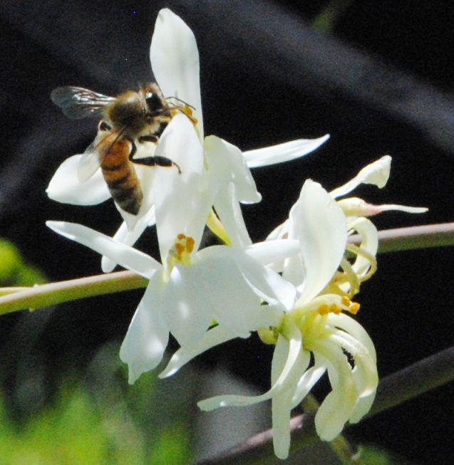 モリンガの花に蜂