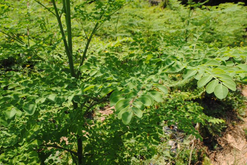 モリンガ畑